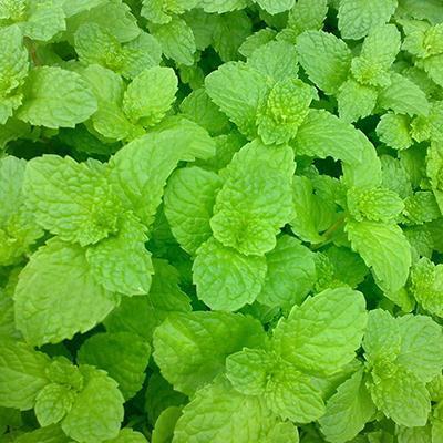 2016 NEW Seeds Vegetables New Fresh Lemon Mint Herbs Balm Heirloom Seeds Melissa Herbs 1 Pack 30 Seeds(China (Mainland))