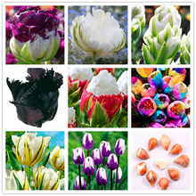 Buy True tulip bulbs Double Tulip 'Barbados' (not tulip seeds) flower bulbs,bulbs tulips Bulbous Root tulipanes garden plant 2 pcs for $1.49 in AliExpress store