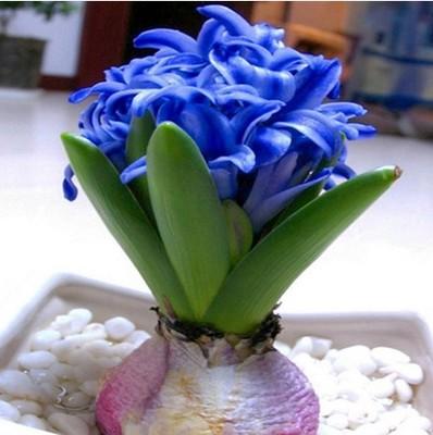 Hyacinth seeds hyacinthus orientalis indoor green plants for Easy indoor plants to grow