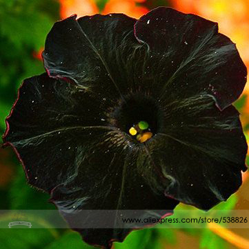 Rare Super Black Cat Petunia Flower Seeds, Professional Pack, 100 Seeds / Pack, New Annual Bonsai Petunia #NF660(China (Mainland))