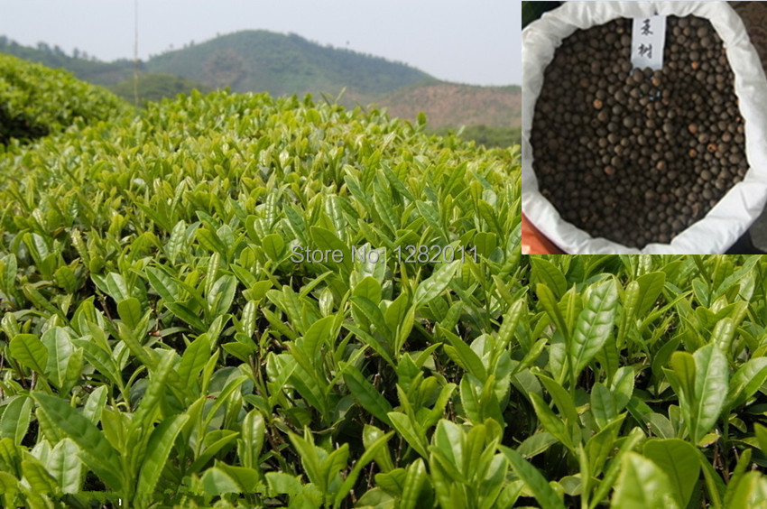 Free shipping 30 pcs Chinese Green Tea Tree 2014 new seeds, suitable for foliage, tea garden(China (Mainland))
