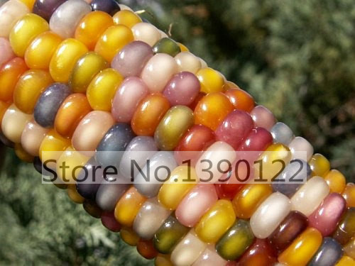 30 Authentic Heirloom Glass Gem Corn Seeds, Cherokee, Highly Sought After, Organically Grown rainbow corn for home garden plant(China (Mainland))
