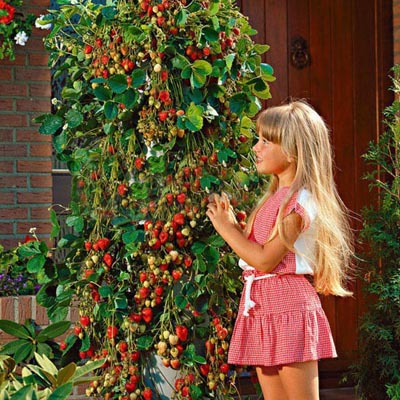 500 PCS Tree Climbing Strawberry Seeds Courtyard Garden With Fruit and Vegetable Seeds Potted Home Garden Plantiing(China (Mainland))