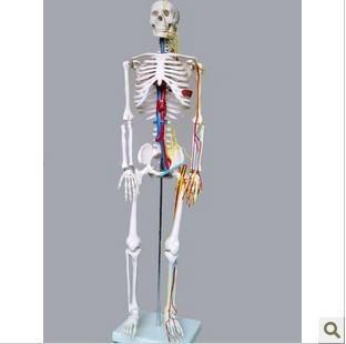 Стандартный Манекен скелет человека 85см 85см модель модель модель цитоскелета с сердцем и Лоза