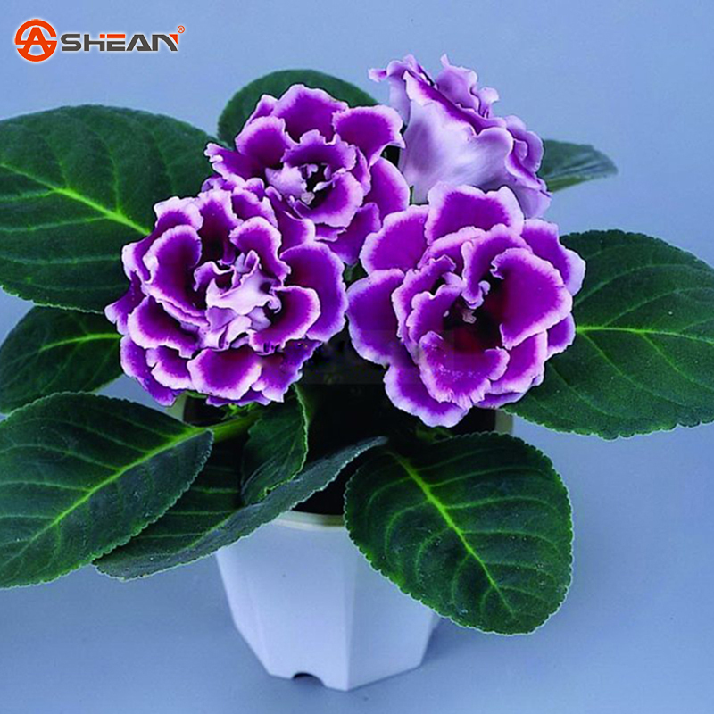 Hot Sale Rare Purple White Side Gloxinia Seeds Perennial Flowering Plants Sinningia Speciosa Bonsai Balcony Flower-100 PCS(China (Mainland))