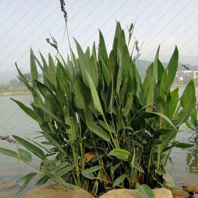 Aquatic plants seeds thalia dealbata home garden for Ornamental pond plants