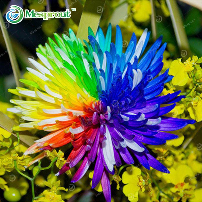 Promotion! 100 pcs/bag Rainbow Chrysanthemum Flower Seeds Rare Color Chrysanthemum Morifolium Seeds Flower Plant for DIY Home Ga(China (Mainland))