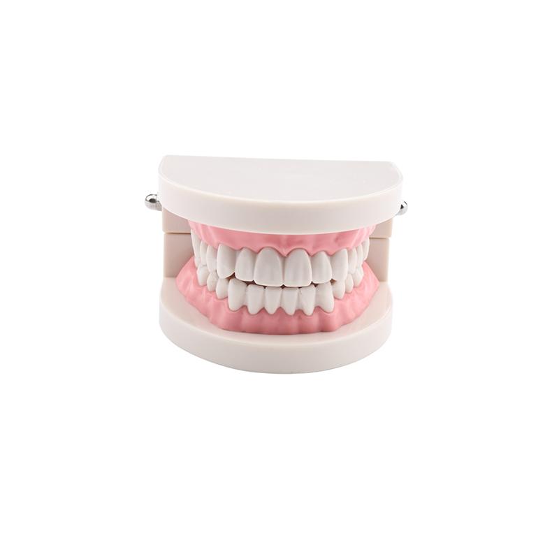 1 Piece Dental Dentist Clear Gum Standard Teeth Model Dental Model 28 Pcs Teeth Free Shipping