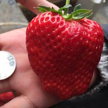 25 Гигантские Семена Клубники, очень Сладкая, Сочная, DIY Home Fruit Plant, продуктивным, Бесплатная Доставка(China (Mainland))