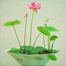 Mischen mini $5 mehrjährige blumen samen vielen farben lotussamen lehren Sie Pflanze der Lotus, 12 Stück seerose saatgut(China (Mainland))