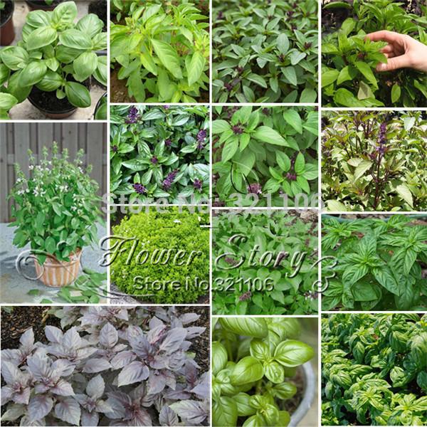 Basil seeds Oregano Jin Bu Huan mint Western food potted herbs spice seasoning kitchen vegetable seeds,Free shipping !(China (Mainland))