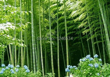Huge 100 seeds Giant Phyllostachys pubescens moso bamboo seeds hardy -Giant(China (Mainland))