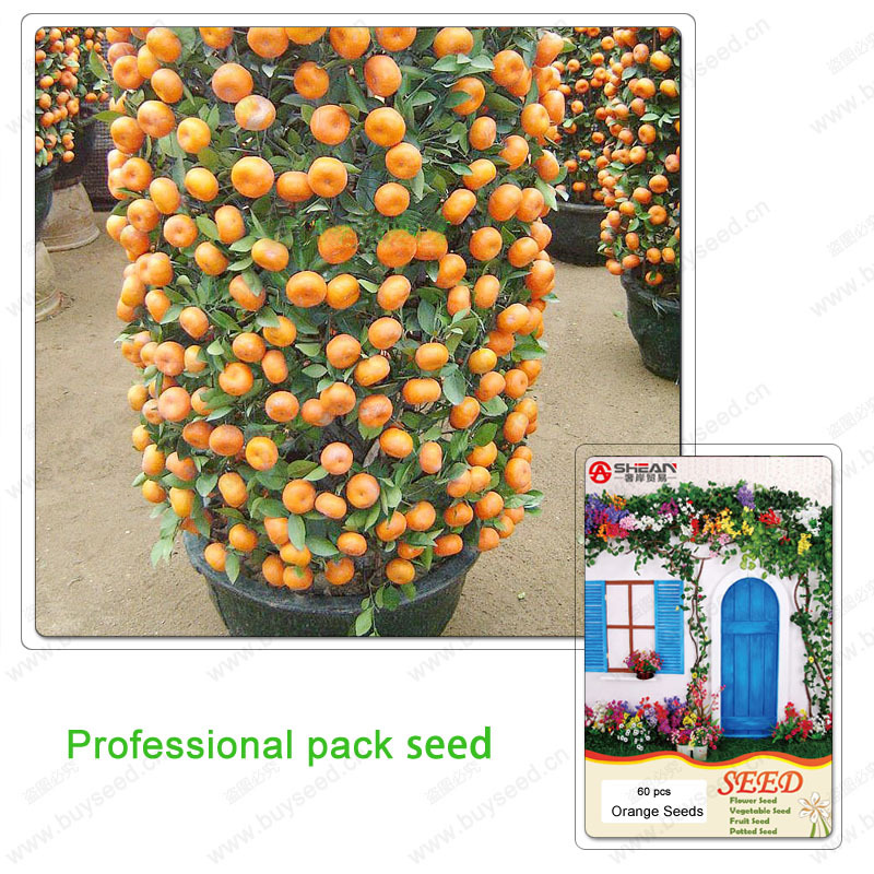 Orange Seed Edible Fruit common Bonsai Tree Seeds Citrus Bonsai Mandarin Orange Seeds 1 Professional pack 60 pcs(China (Mainland))