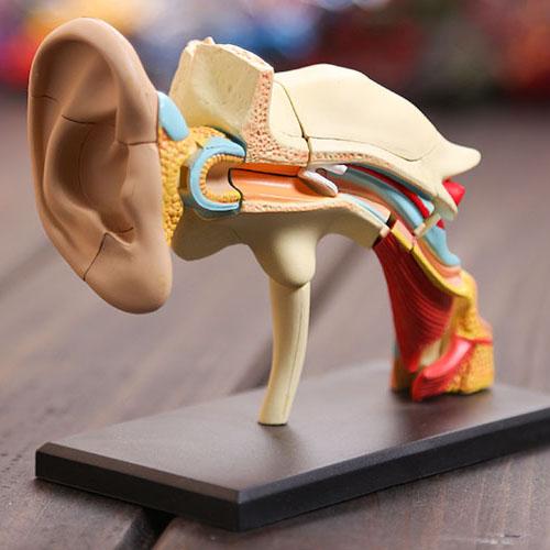 مختبر طبيب الأسنان 4d الأذن نموذج هيكل عظمي نموذج تشريحي التشريح البشري للبيع ، 3d لغز ألعاب تعليمية(China (Mainland))
