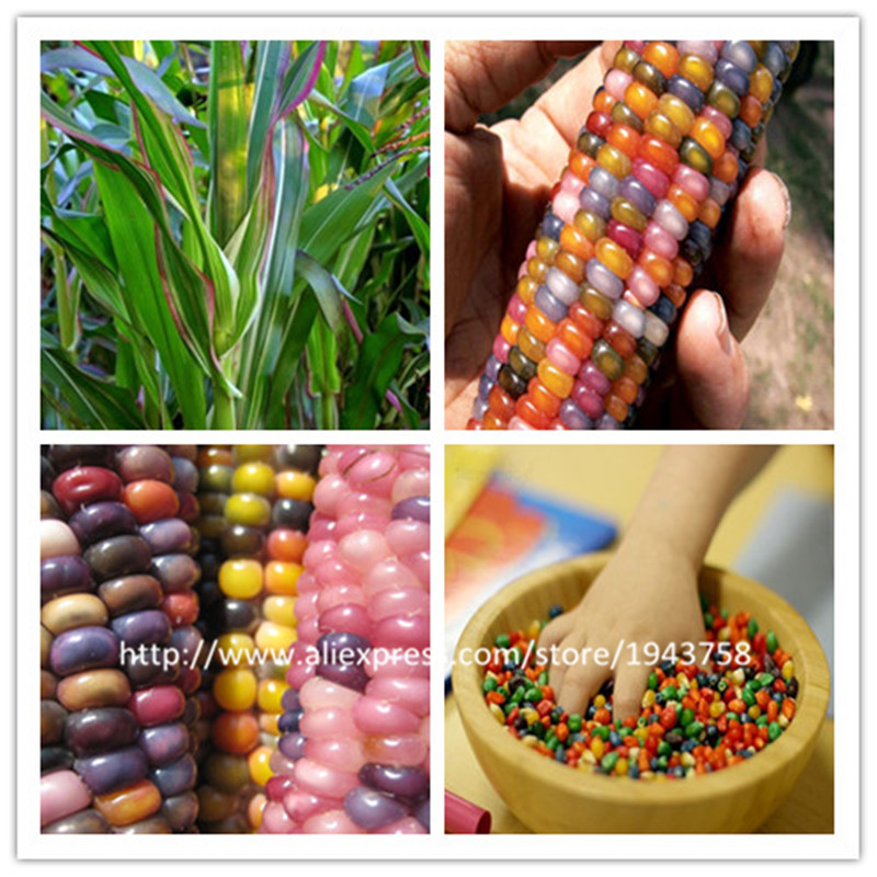 40 pcs rainbow corn seeds NO-GMO Glass Gem Corn vegetable seeds for home garden send 300 strawberry for gift(China (Mainland))