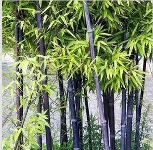 100seeds/bag factory wholesale fresh Bamboo Seeds Cheap Bonsai Free shipping(China (Mainland))
