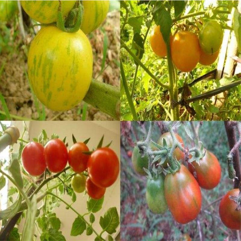Tomates macetas compra lotes baratos de tomates macetas de china vendedores de tomates - Tomates cherry en maceta ...