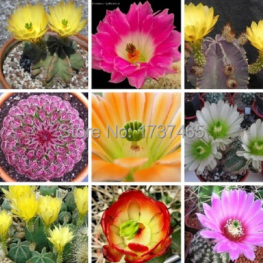 20pcs/pack ball cactus,ECHINOCEREUS mixed seeds succulent plant bonsai seed DIY home garden free shipping(China (Mainland))