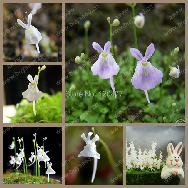 rabbit seeds,Utricularia sandersonii seeds,Resembles a cute little rabbit, carnivorous plants, 50 seeds/bag(China (Mainland))