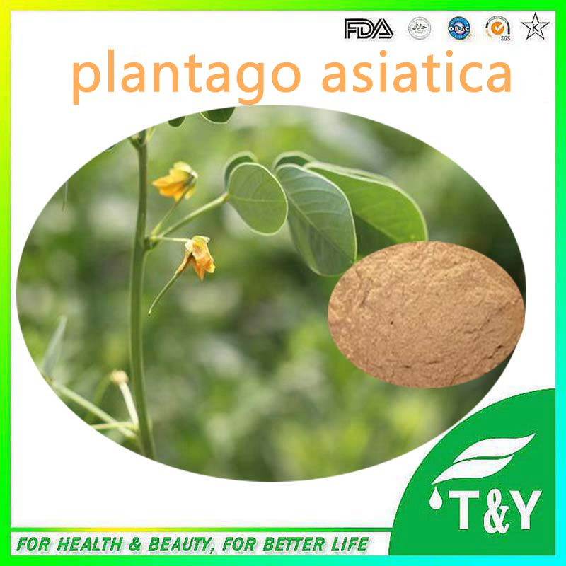 Organic Plantain Extract/Asiatic Plantain Herb Extract/ Plantago Lanceolata Extract