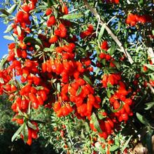 2015 Real Ningxia Pure Goji 1kg Berries Certified Organic Chinese Medlar Healthy Berry Best Food To