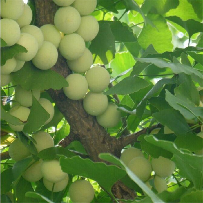 how to grow ginkgo biloba from seed