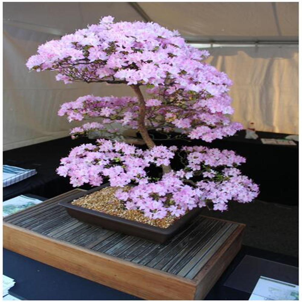 rare sakura seeds bonsai flower Cherry Blossoms Tree cherry blossom seeds Bonsai plants for home & garden(China (Mainland))