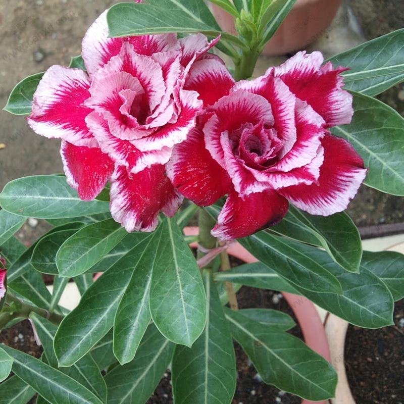 Zobacz w tek adenium obesum r a pustyni cz 8 uprawa - Plants with blue flowers a splash of colors in the garden ...