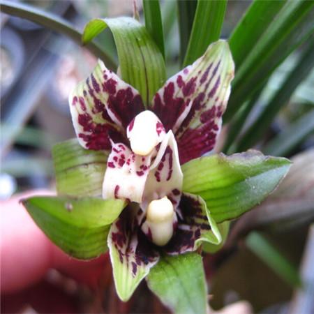 Карликовое дерево Flower Seeds 100 Multi Butterfly карликовое дерево flower seeds 100 multi butterfly