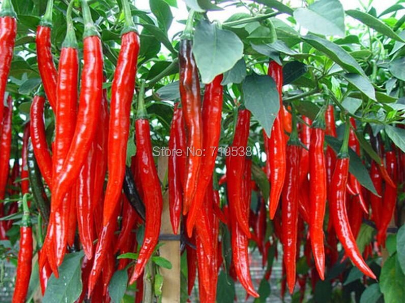 Hot selling Long Red Pepper Seeds,Red Hot Pepper Seeds ,vegetable seeds free shipping - 100 Seed particles c011(China (Mainland))