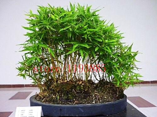 Acquista all 39 ingrosso online bonsai di bamb da grossisti for Semi di bambu