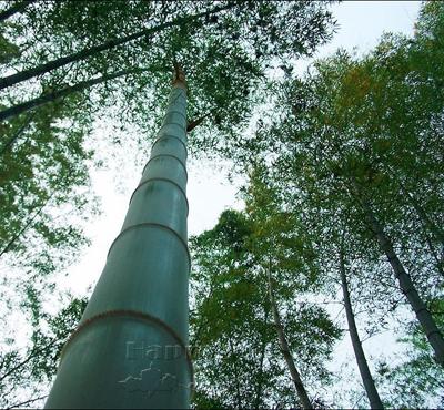 200+ giant mosso bamboo seeds - huge bag seeds, edible Product bud, charming houseplant 100% real(China (Mainland))
