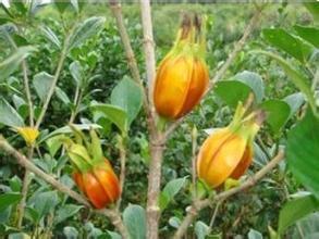 1000g Gardenia yellow colorant, food color, food pigment, natural food coloring