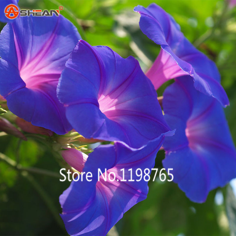 2016 New Arrival New Arrival Deep Blue Ipomoea Nil Seeds Morning Glory seeds Flowering Plants Charming Chinese Flowers Seeds 50(China (Mainland))