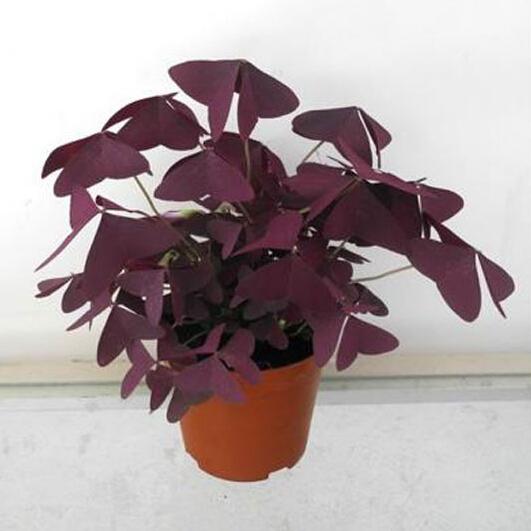 Graines de plantes feuillage rouge woodsorrel feuilles de tr fle graines de tr fle rouge - Plante a feuille rouge ...