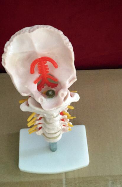 cervical vertebra human cervical spine with neck artery occipital cervical disc and nerve orthopedic bone skeleton model(China (Mainland))