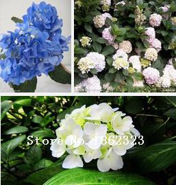 azul hortensia semillas de flores semillas color hermoso fiesta de la boda de flores de plantas
