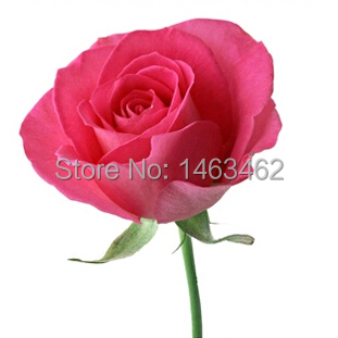 1 pack 10rose seeds, home decoration pink rose flower Seeds - Love life family store