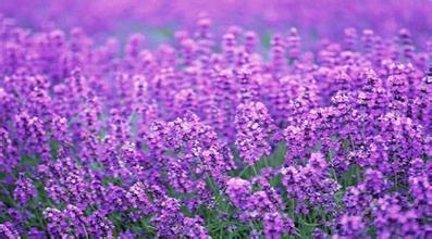 1000g 10:1   Lavender extract Lavandula extract Lavandula Angustifolia extract