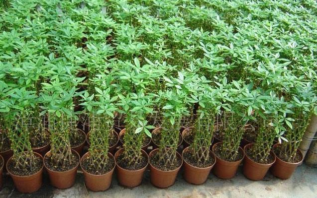 Achetez en gros bonsa arbre de l 39 argent en ligne des - Planta china del dinero ...