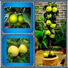 30 Green Apple Seeds Very Fresh Fruit Seeds Rare Mini Apple Bonsai Tree for Flower 100% Rreal Seeds for home garden plant(China (Mainland))