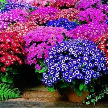 30pcs/bag mixed color florists cineraria seeds for DIY home garden
