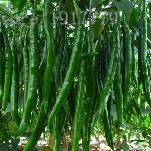 100pcs Pepper Seed, a rare organic vegetables, green pepper seeds long, home garden / potted vegetables(China (Mainland))
