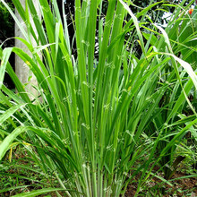 Free Shipping 400 Lemon Grass Seeds Heirloom Organic Medical Herb Plant Easy Care DIY Garden(China (Mainland))
