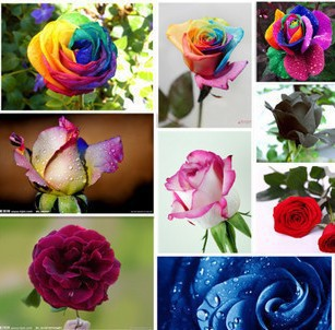 PromotionRose seeds flower colorful rose seeds plant bonsai flower seeds - 100 pcs seedsFree Shipping(China (Mainland))
