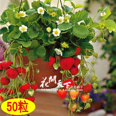 Four Seasons potted strawberry seeds perennial flower seeds results balcony flower seeds 50 seeds/pack of fruits and vegetables(China (Mainland))