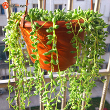 Pearl Chlorophytum Seeds Hanging Type Potted Flower Plants Home Garden 100 Particles / lot - hua xian zi factory Store store