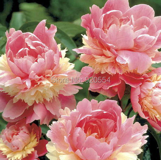 10pcs/lot Rare Heirloom Sorbet Robust Colorful Double Blooms Peony Tree Seeds bonsai plant home garden free shipping P1