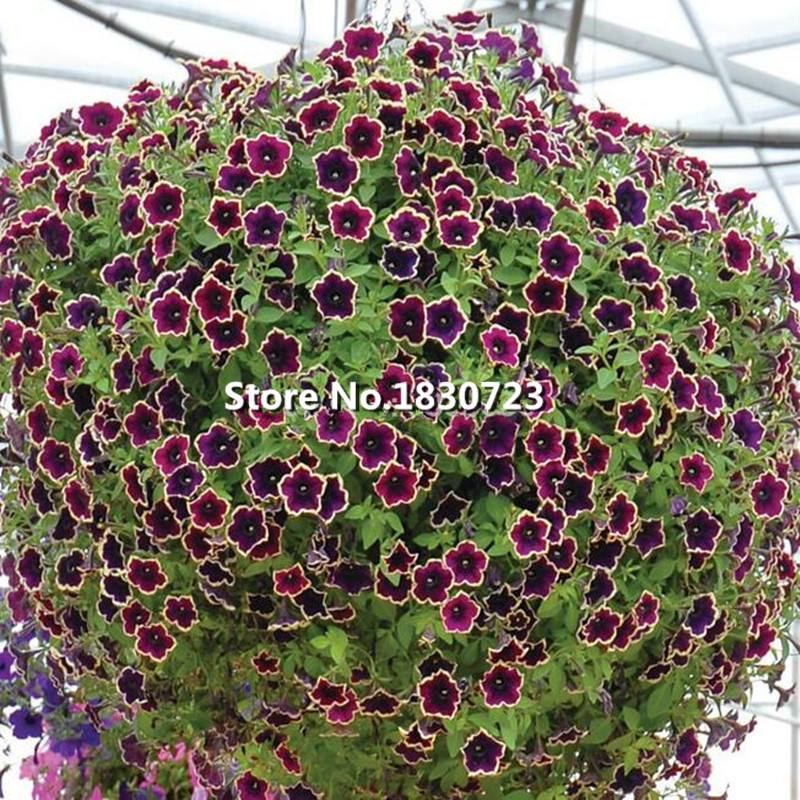 Cascadia Rim Magenta Petunia .Dark purple blooms with a cream edge.Flower Seeds For Home.Bonsai Plants for Decoration--200seeds(China (Mainland))
