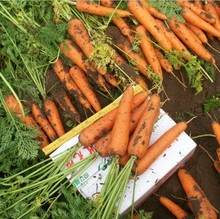 inches Carrot Seed 15seed